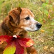 Stock Photo: Autumn dog eyes