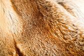 Fox fur background — Stock Photo