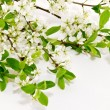 Branch of cherry blossoms on white background — Stock Photo