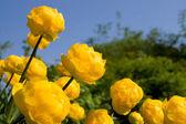 çiçek kupavna — Stok fotoğraf