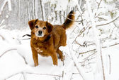 Hund im verschneiten wald — Stockfoto