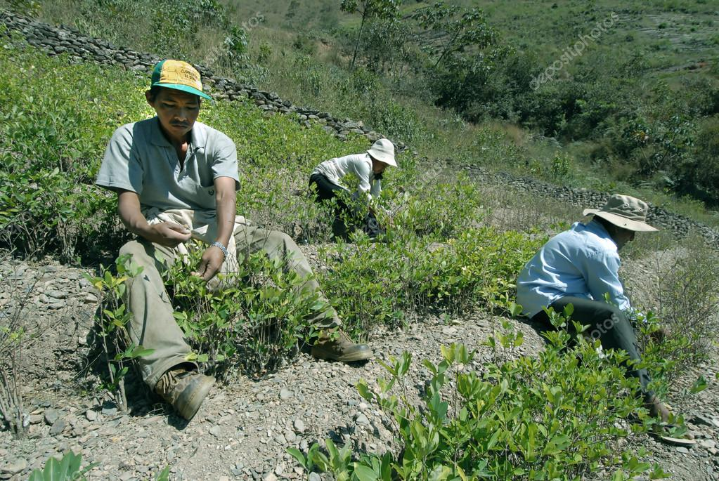 "Bolivia .The Coca farmers peasants""cocaleros""cultivate a field of coca. In the Andean countries, the leaves are sold in supermarkets as a particularly  — Stock Photo #12117659"