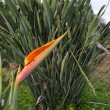 Strelitzia plants — Stock Photo