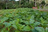 Tütün bitkileri — Stok fotoğraf