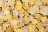 Yellow fallen leaves — Stock Photo