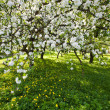 Blossoming apple tree — Stock Photo #13629995