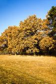 Oak autumn — Stock Photo