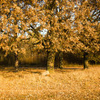 The turned yellow oaks — Stock Photo