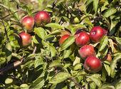 Manzanas en un árbol — Foto de Stock