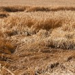 Wheat after a thunder-storm — Stock Photo #14736263