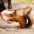 Feeding of a squirrel — Stock Photo