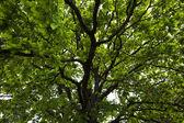 Green oak — Stock Photo