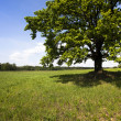 Stock Photo: Oak in field