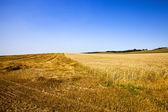 The harvest company of wheat — Stock Photo