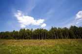 The birch wood (spring) — Stock Photo
