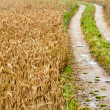 Stock Photo: He road in wheat field after last rain