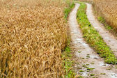 He road in a wheat field after last rain — Stock Photo