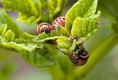 The Colorado beetle — Stock Photo