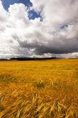 Mature barley — Stock Photo