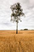 Birch in the field — Stock Photo