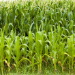 Corn leaves — Stock Photo