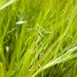 Green oats — Stock Photo