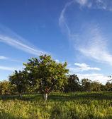 Apple-tree garden — Stock Photo