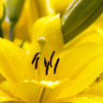 Lily (macro) — Stock Photo