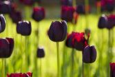 Dark tulips — Stock Photo