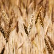 Mature wheat — Stock Photo