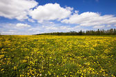 Field with dandelions — Stock Photo