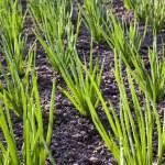 ������, ������: Onions field