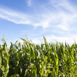 Corn field — Foto de Stock