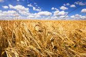 Mature wheat — Stock Photo