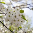 Cherry flower — Stock Photo #36738985