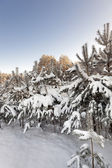 Young pines in a winter season — Stock Photo