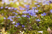 Glades violet flowers — Stock Photo