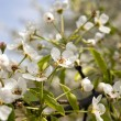 Apple-tree flowers — Stock Photo #37618011
