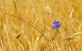 Cornflower with ripened wheat — Stock Photo