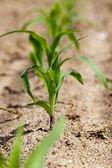 Brote de maíz — Foto de Stock