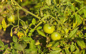 Green tomatoes — Stock Photo