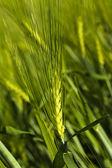 Cereals (close up) — Stockfoto
