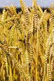 Mature cereals — Stock Photo