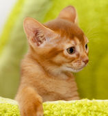 アビシニアの子ネコ — ストック写真