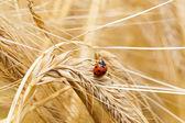 小麦のてんとう虫 — ストック写真
