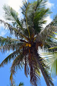 Coconut Palm — Stock Photo
