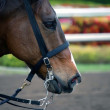 Racehorse in Profile — Stock Photo