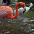 Stock Photo: Flamingo in Zoo Aviary
