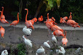 Flamingos and Ibises — Stock Photo