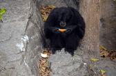Lowland Gorilla — Stock Photo